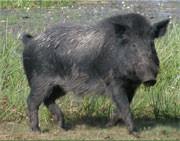 Feral Pig (1)