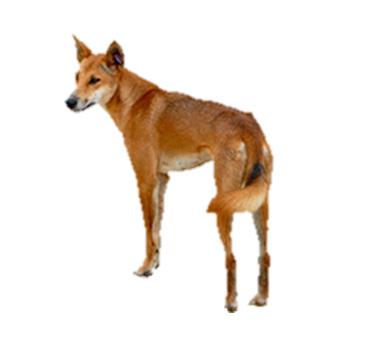 Dingo_b70de42cb2607bddd7b0c0823d473444